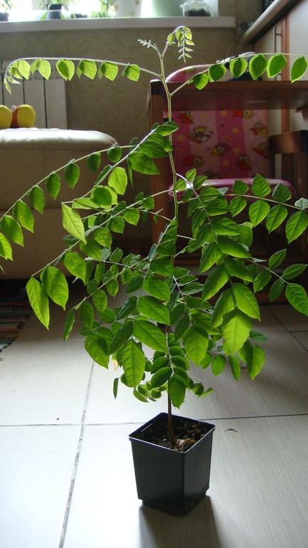 Карамбола выращивание в домашних условиях 19