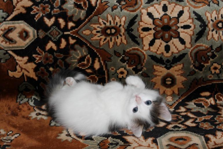 Барнаул.  Отдадим  маленькую  кошечку  в  добрые  руки