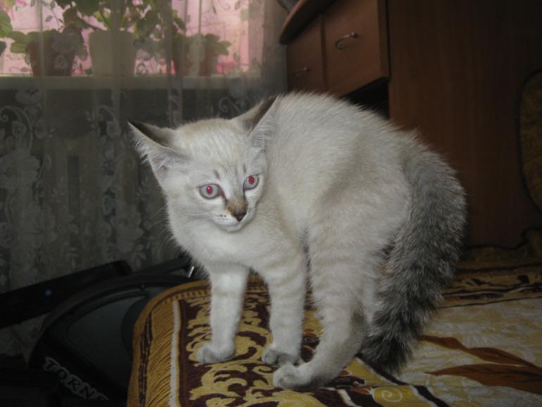 Помеси сиамских котов