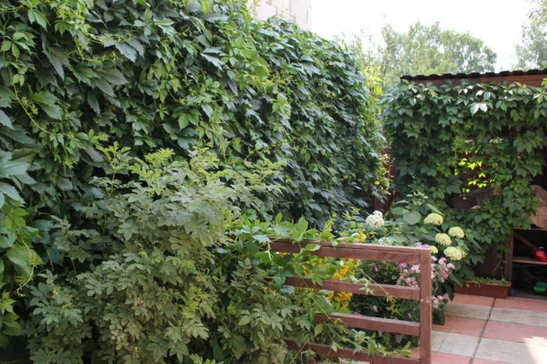 На каком расстоянии от забора можно сажать девичий виноград 48