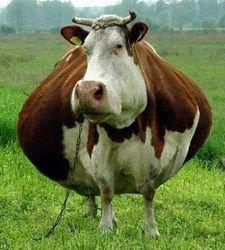 счастливая коровка
